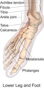 1 Metatarsal_bones V1